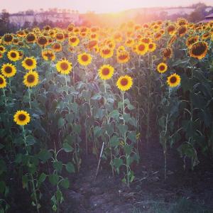 Siena's Sunflower Fields
